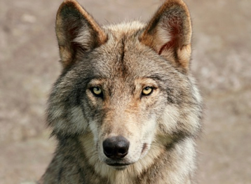 Use a sales personality test to hire sales wolves
