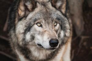 True Sales Wolves - the best salespeople - have a mindset of play-to-win in sales