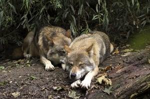 wolf-1384944_1920